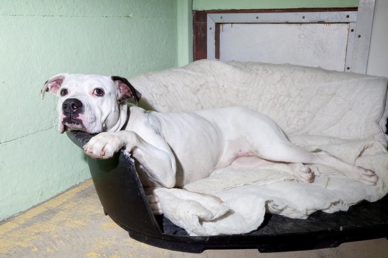 Amerikaanse bulldog