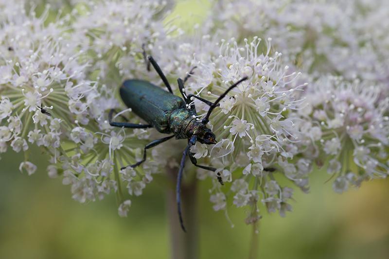 Muskusboktor (Aromia moschata)