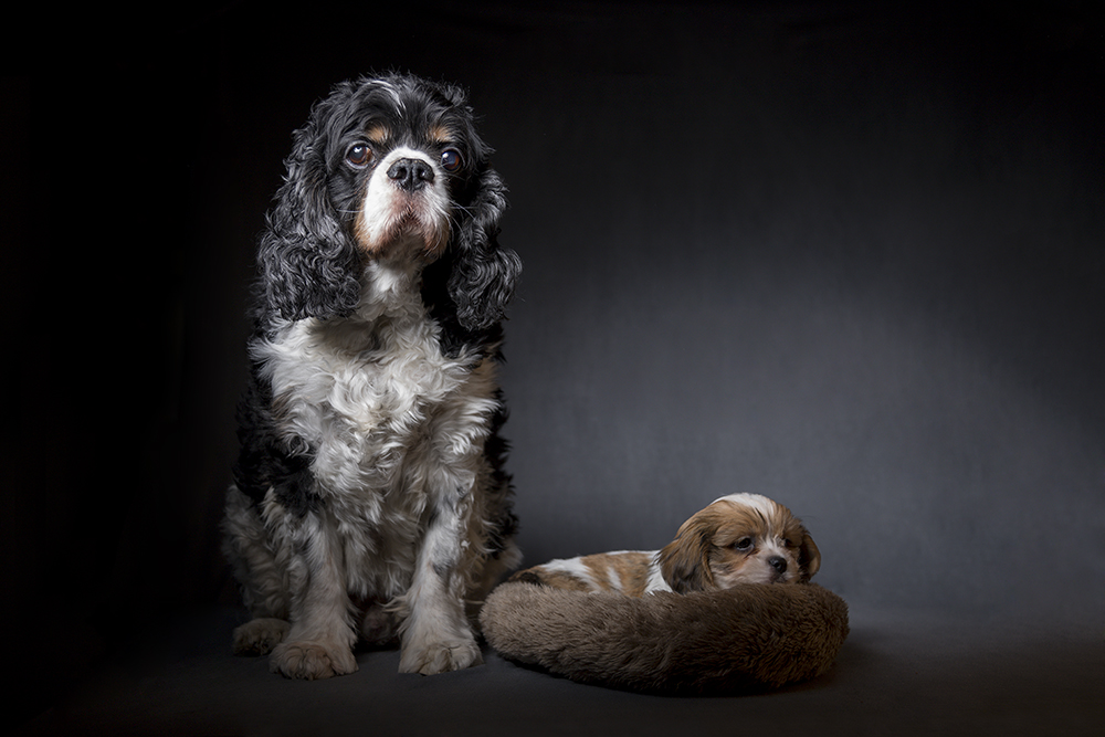 Cavalier king charles spaniel and Boomer
