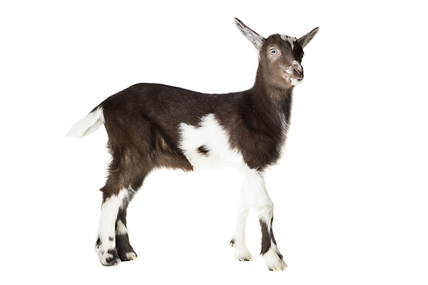 Nederlandse bonte geit