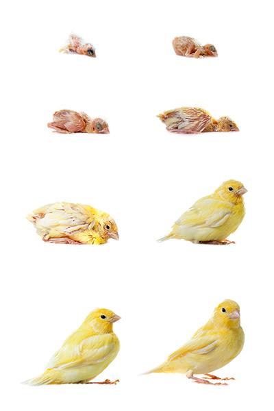 Serinus canaria