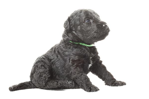 Kerry blue terrier puppy