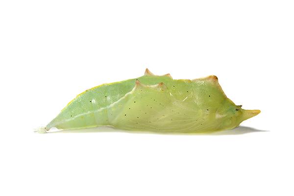 Pieris rapae