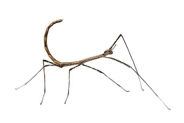 Medauromorpha regina