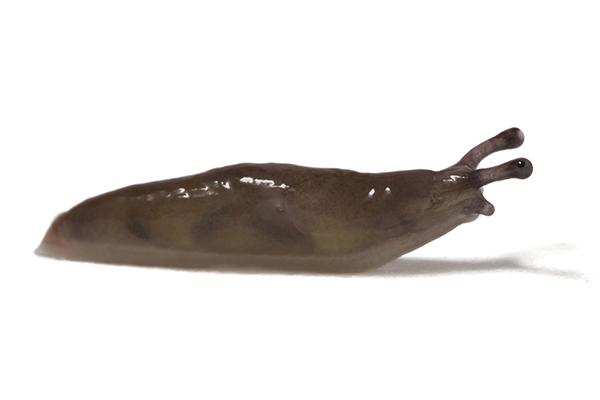 Deroceras sp.