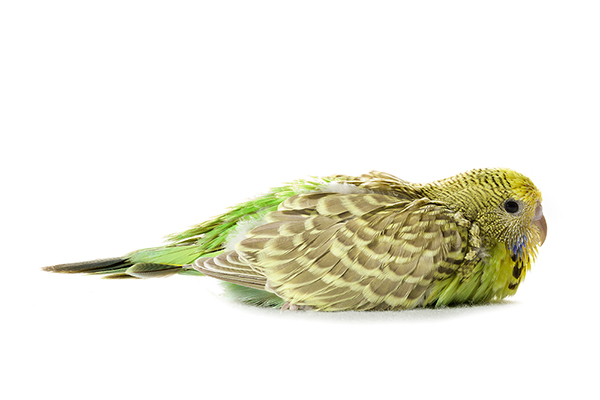 Melopsittacus undulatus