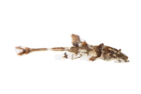 Rineloricaria lanceolata